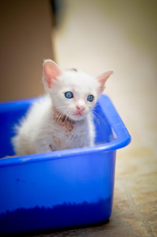 Portret pięknej kiciuni Syjamski kot, Biały colour, niebieskie oczy, Piękny zakończenie up w domu, Piękny kot śliczny śmieszny ba zdjęcia stock