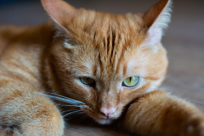 Portret piękni metis czerwony kot, zbliżenia lying on the beach zdjęcie stock
