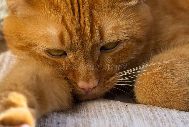 Portret piękni metis czerwony kot, zbliżenia lying on the beach fotografia royalty free