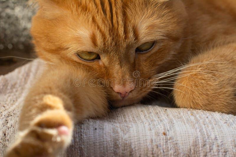 Portret piękni metis czerwony kot, zbliżenia lying on the beach zdjęcie royalty free