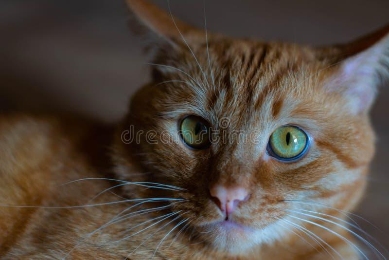 Portret piękni metis czerwony kot, zbliżenia lying on the beach, patrzeje kamerę obrazy royalty free