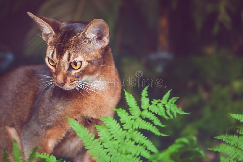Portret pi?kny Abisy?ski kot w naturalnych warunkach w greenery papro? jak drapie?nik, fotografia stock