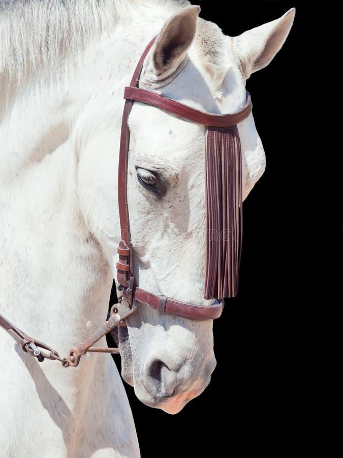 Portret piękny Andalisian pstrzący biały koń. Hiszpania. ja obraz royalty free