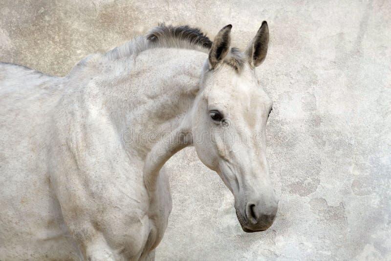 Portret piękny biały koń zdjęcia stock