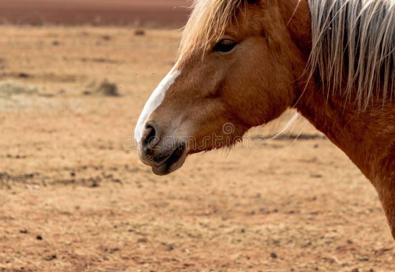Portret piękny brązu koń z mądrze oczami zdjęcie royalty free