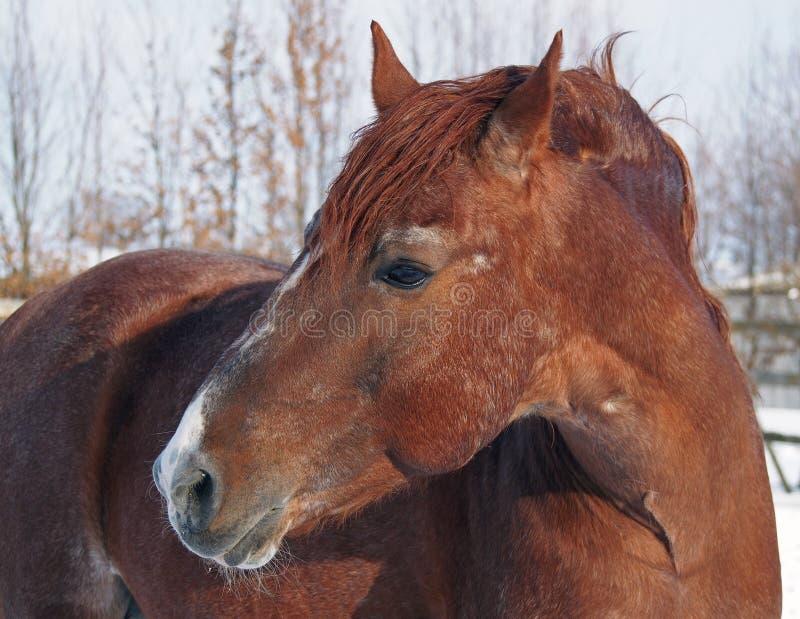 Portret piękny cisawy koń zdjęcie royalty free