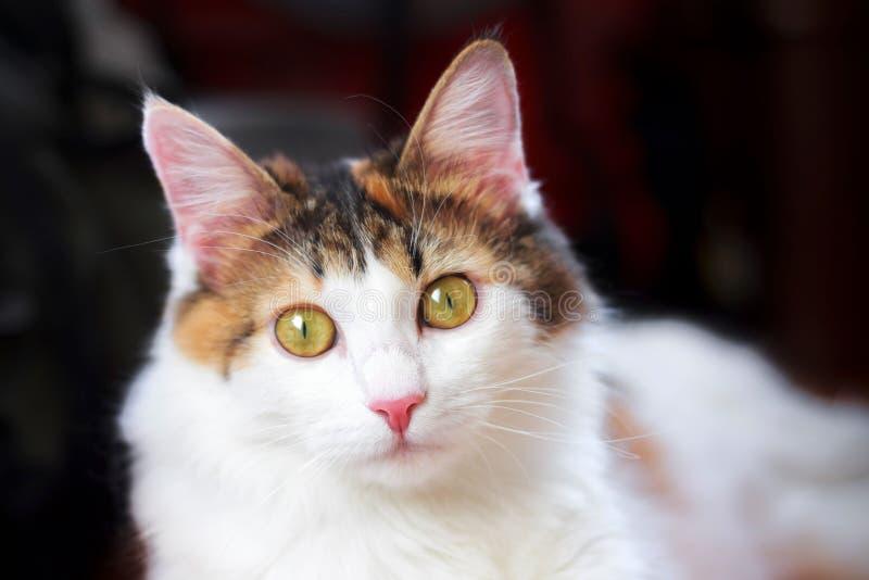 Portret Piękny Cycowy kot Z Dużym kolorem żółtym ono Przygląda się Patrzejący kamerę zdjęcia royalty free
