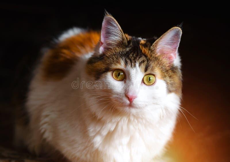 Portret Piękny Cycowy kot Z Dużymi Żółtymi oczami obrazy royalty free