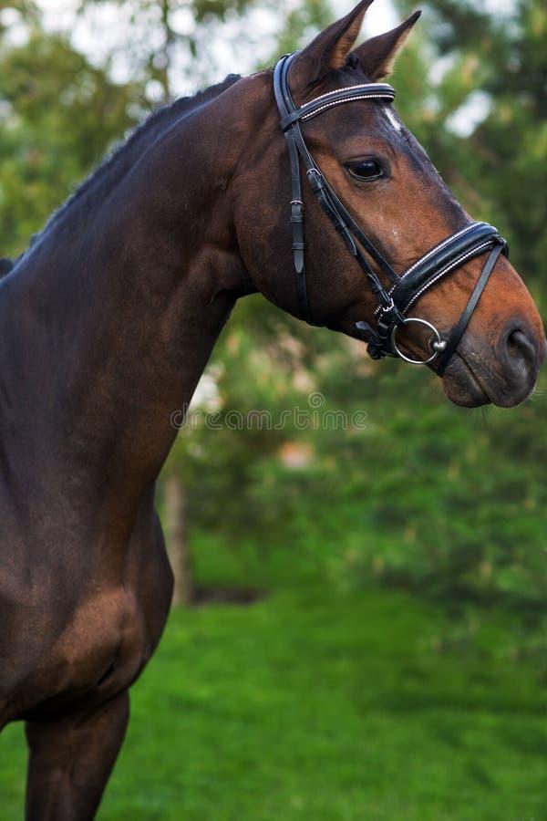 Portret piękny czerwony koń w lecie przeciw zieleniom obrazy royalty free