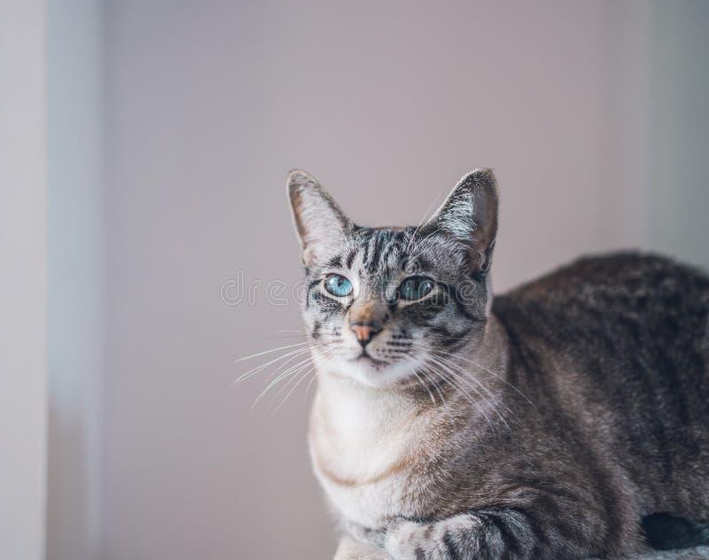 Portret piękny domowy śliczny kot z niebieskimi oczami zdjęcia stock