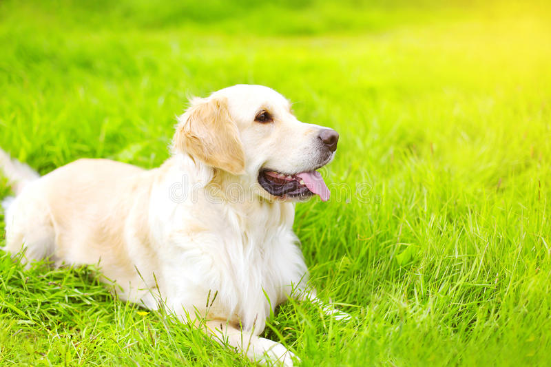 Portret piękny golden retriever psa lying on the beach zdjęcie royalty free