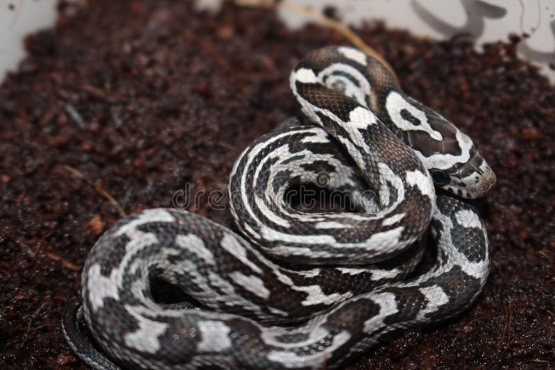 Portret piękny kukurydzany wąż fotografia stock