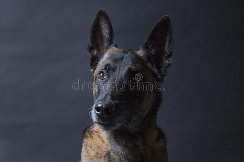 Portret piękny malinois pies zdjęcie stock