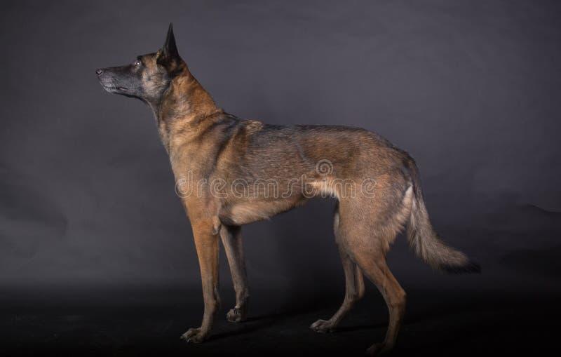 Portret piękny malinois sheperd pies zdjęcie royalty free