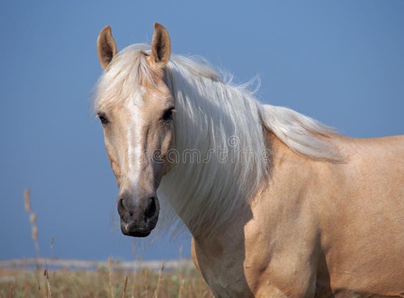 Portret piękny palomino koń fotografia stock