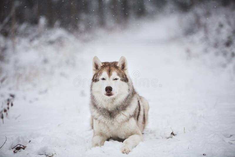 Portret piękny, poważny i bezpłatny Syberyjskiego husky psa lying on the beach na śniegu w tajemniczym ciemnym lesie w zimie, obrazy royalty free