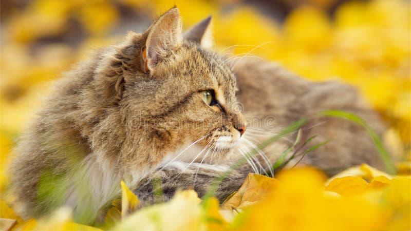 Portret piękny puszysty kota lying on the beach na spadać żółtym ulistnieniu, figlarnie zwierzęcia domowego odprowadzenie na natu obraz royalty free