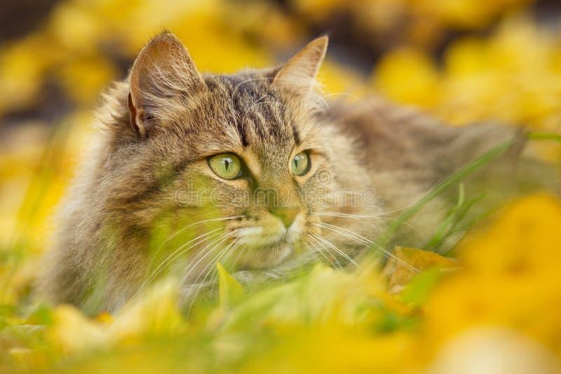Portret piękny puszysty kota lying on the beach na spadać żółtym ulistnieniu, figlarnie zwierzęcia domowego odprowadzenie na natu zdjęcie stock