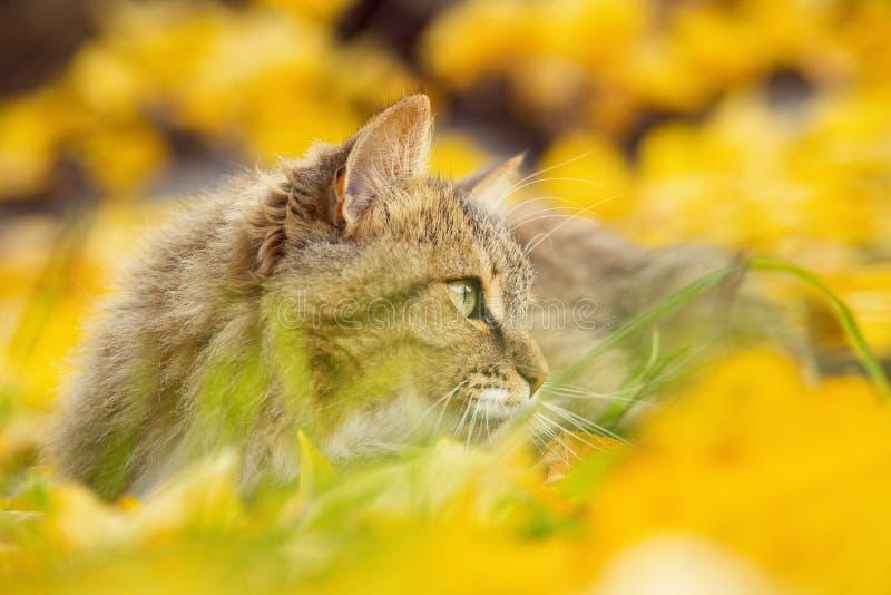 Portret piękny puszysty kota lying on the beach na spadać żółtym ulistnieniu, figlarnie zwierzęcia domowego odprowadzenie na natu fotografia stock