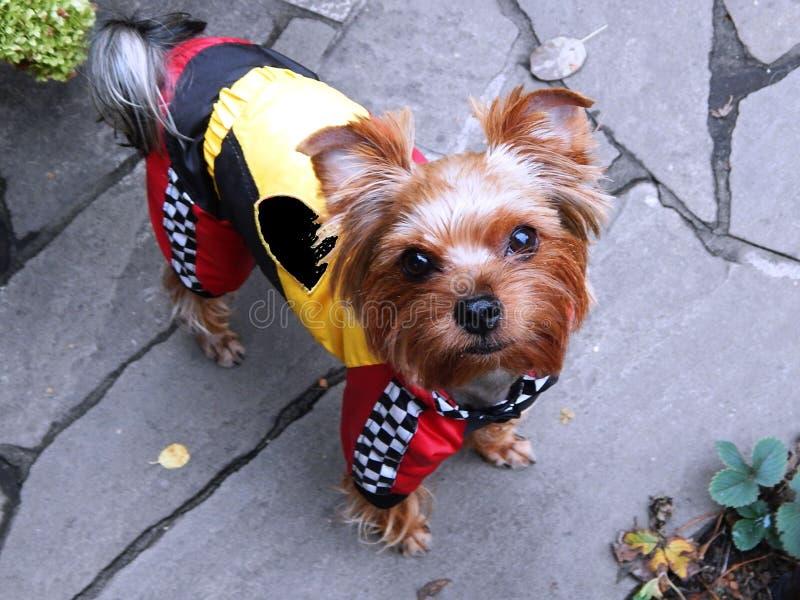 Portret piękny zwierzę domowe psa Yorkshire terier zdjęcia stock