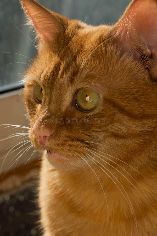 Portret pięknych metis czerwony kot blisko okno w domów spojrzeniach fotografia royalty free