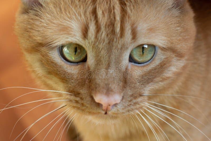 Portret pięknych metis czerwony kot w domu zdjęcia stock
