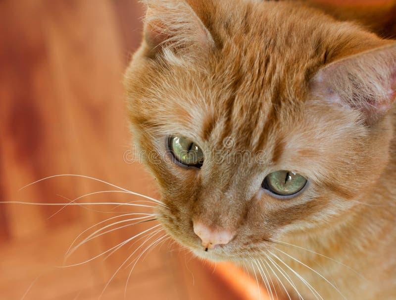 Portret pięknych metis czerwony kot w domu zdjęcia royalty free