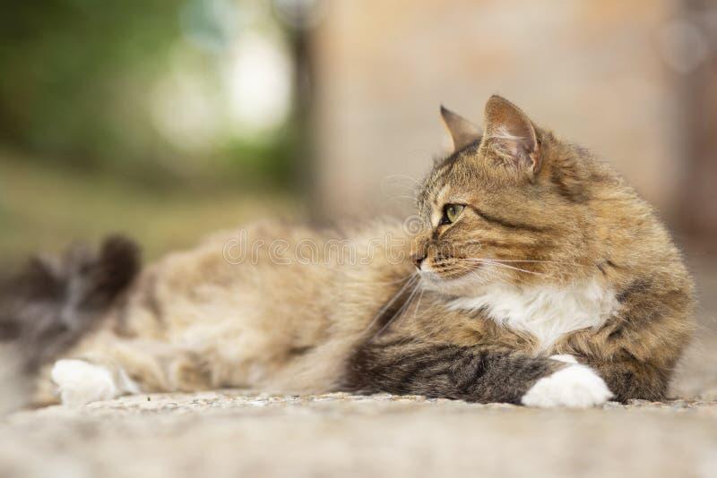 Portret pi?kny kota lying on the beach w jardzie przy progiem, domowy zwierz? domowe chodzi outdoors fotografia stock