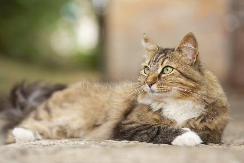 Portret pi?kny kota lying on the beach w jardzie przy progiem, domowy zwierz? domowe chodzi outdoors obrazy stock