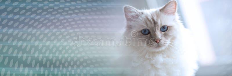 Portret pi?kny ?wi?ty kot Burma; panoramiczny sztandar zdjęcia royalty free