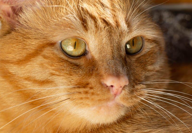 Portret pi?knych metis czerwony kot w domu zdjęcia stock