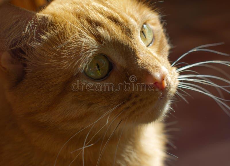 Portret pi?knych metis czerwony kot w domu patrzeje w g?r? zdjęcie stock