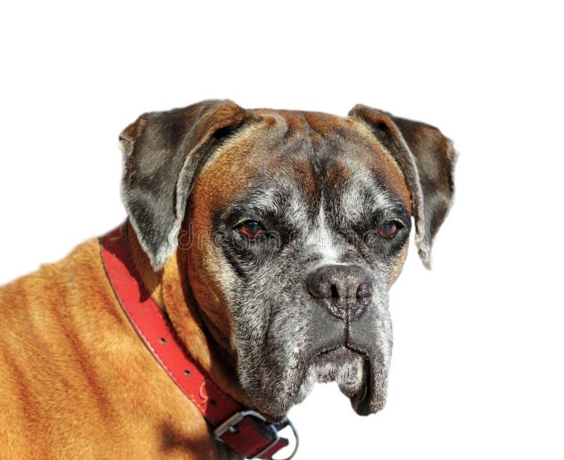 Download Portret pies obraz stock. Obraz złożonej z śliczny, studio - 28965847