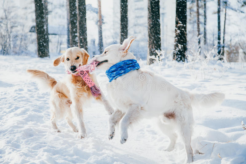 Portret pies outdoors w zimie dwa potomstwa golden retriever bawić się w śniegu w parku Holownik zabawki fotografia stock