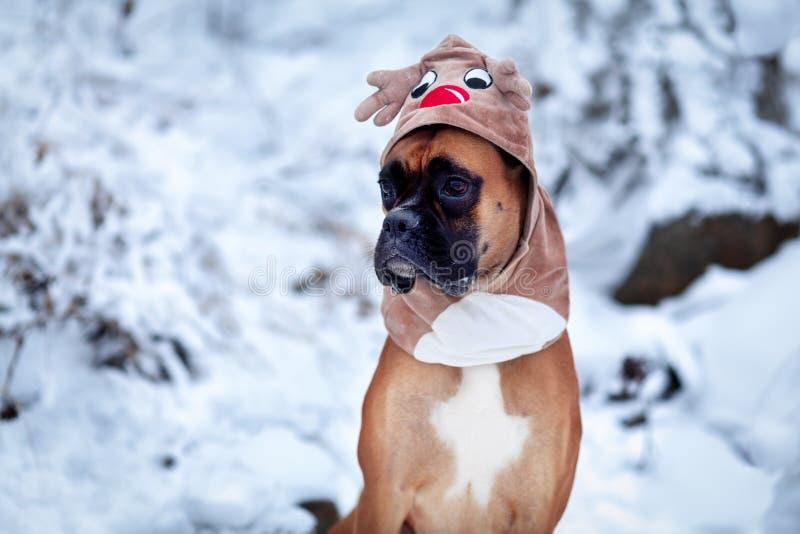 Portret pies w jelenim kostiumu przeciw tłu choinki obraz stock