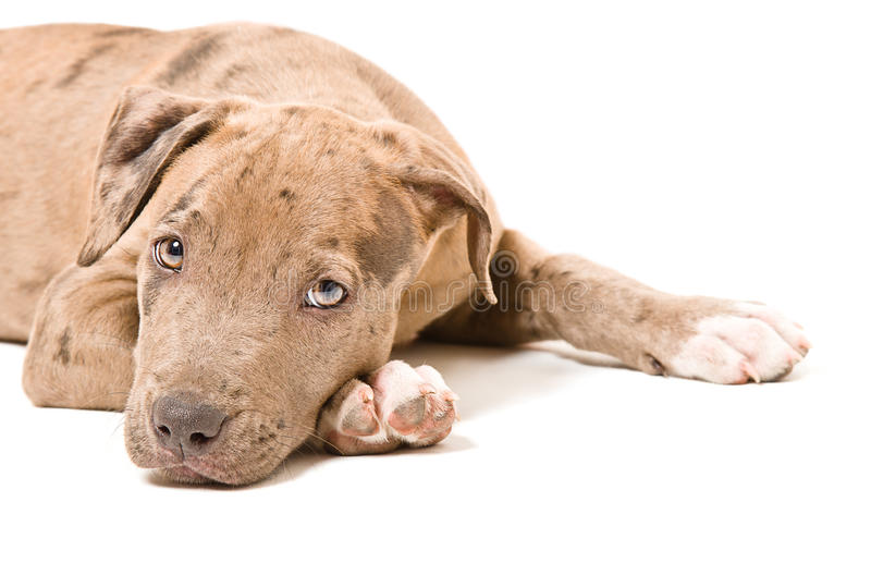 Portret pitbull szczeniak zdjęcia royalty free