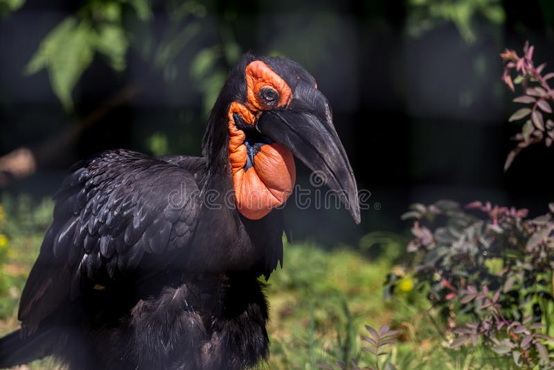 Portret południowa zmielona dzioborożec zamknięta w górę, boczny widok Piękny i powabny ptak świat zdjęcia royalty free