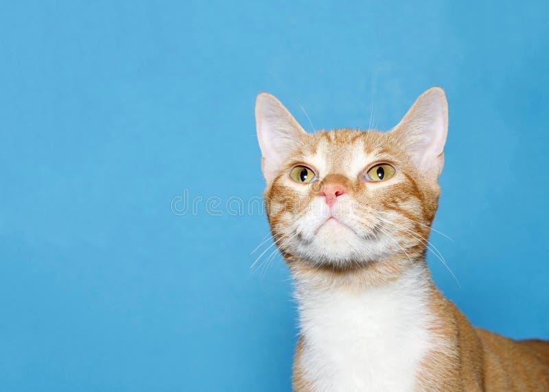 Portret pomarańczowy i biały tabby kot patrzeje upwards obraz stock