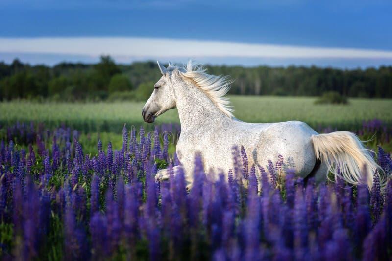 Portret popielaty koń wśród lupine kwitnie fotografia stock