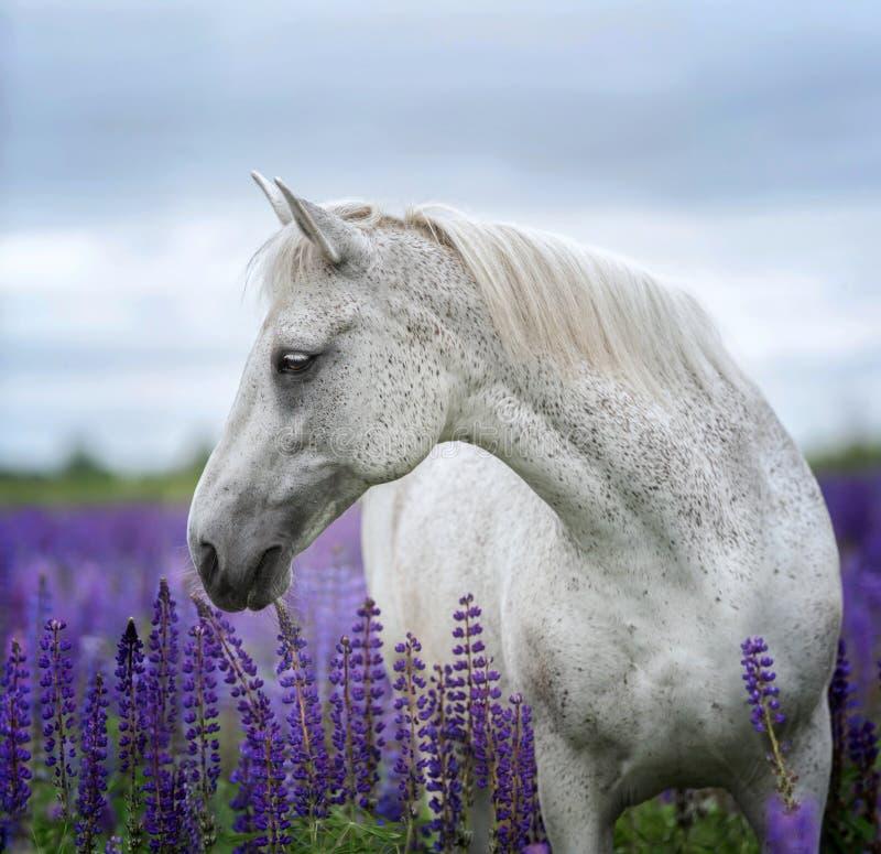 Portret popielaty koń wśród lupine kwitnie zdjęcie stock