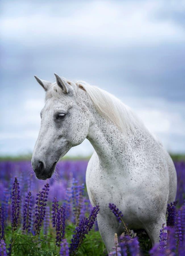 Portret popielaty koń wśród lupine kwitnie zdjęcia royalty free