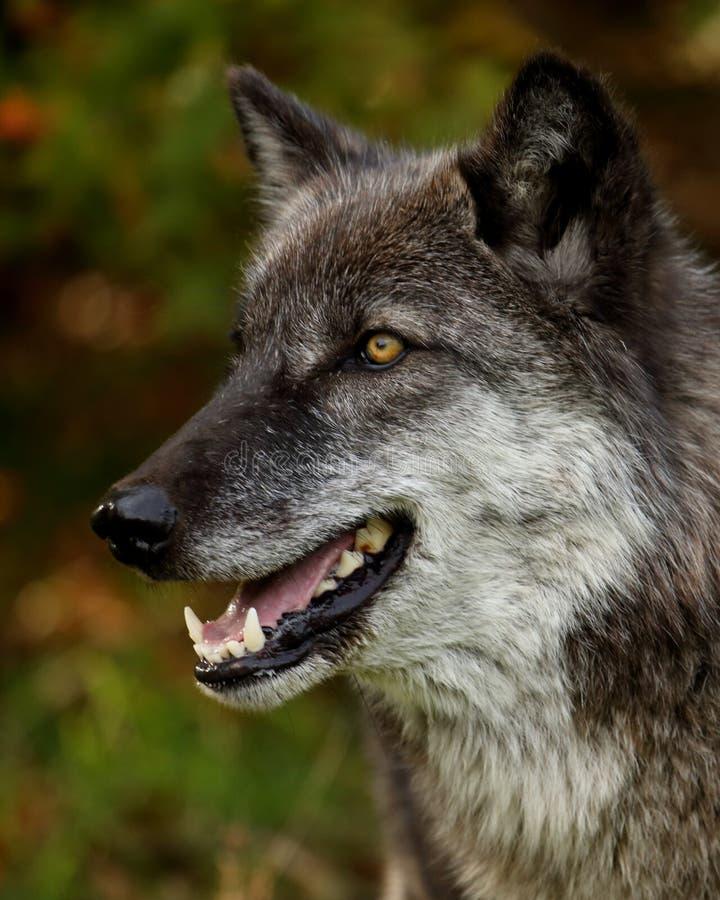Portret popielaty wilk i czerń obraz stock