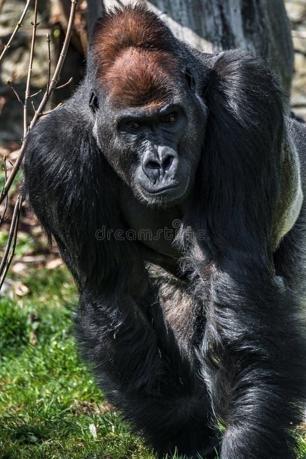 Portret potężny alfa samiec Afrykański goryl przy strażnikiem obraz royalty free