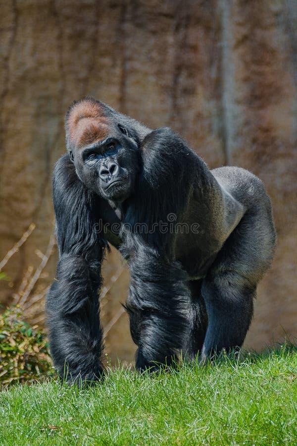 Portret potężny alfa samiec Afrykański goryl przy strażnikiem obraz stock