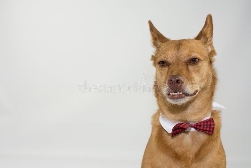 PORTRET POWAŻNY MIESZANY trakenu pies UNDERBITE JEST UBRANYM łęku TI zdjęcie royalty free
