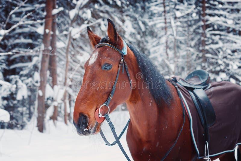 Portret przystojnego ogiera końska zima outdoors obraz royalty free