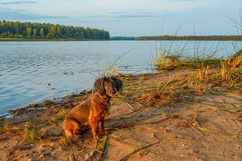 Portret psa o zachodzie słońca W wodzie granej zdjęcia stock