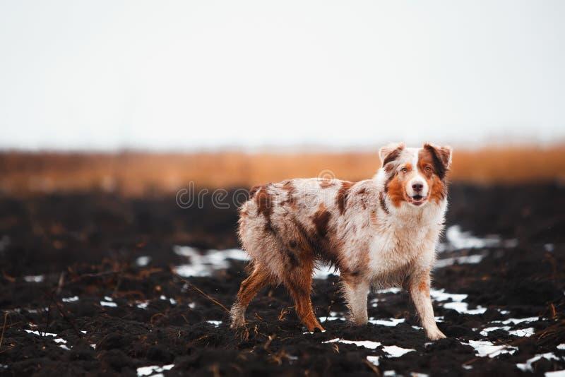 Portret psi Border collie w polu złoto pobyt na ziemi Pole zboża obrazy stock