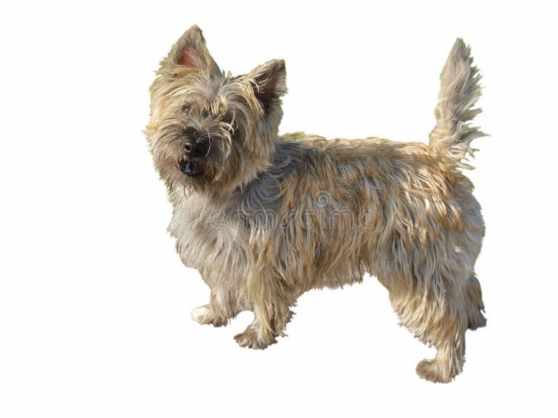 Portret psi kopiec Terrier fotografia stock