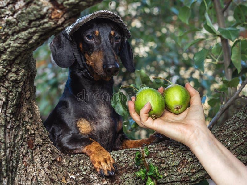 Portret psi szczeniak w nakrętce z bonkretami, trakenu jamnika czerni dębnik w jarzynowego ogródu spojrzeniach przy ręką, zdjęcie royalty free